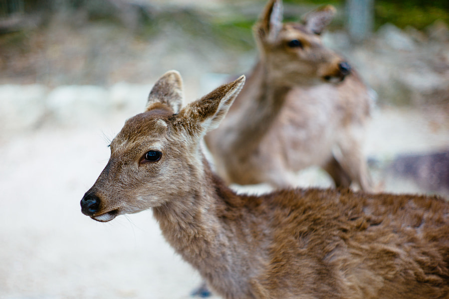 Photograph Sika Deer on Miyajima Island, Japan by Jeremiah Rogers on 500px