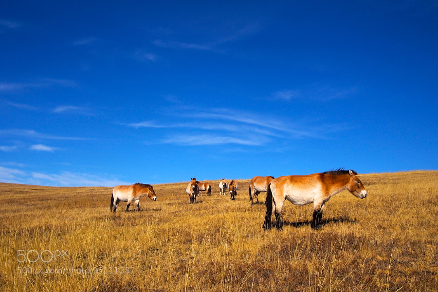 Photograph Wild Horses, Mongolia by parentheticalpilgrim on 500px