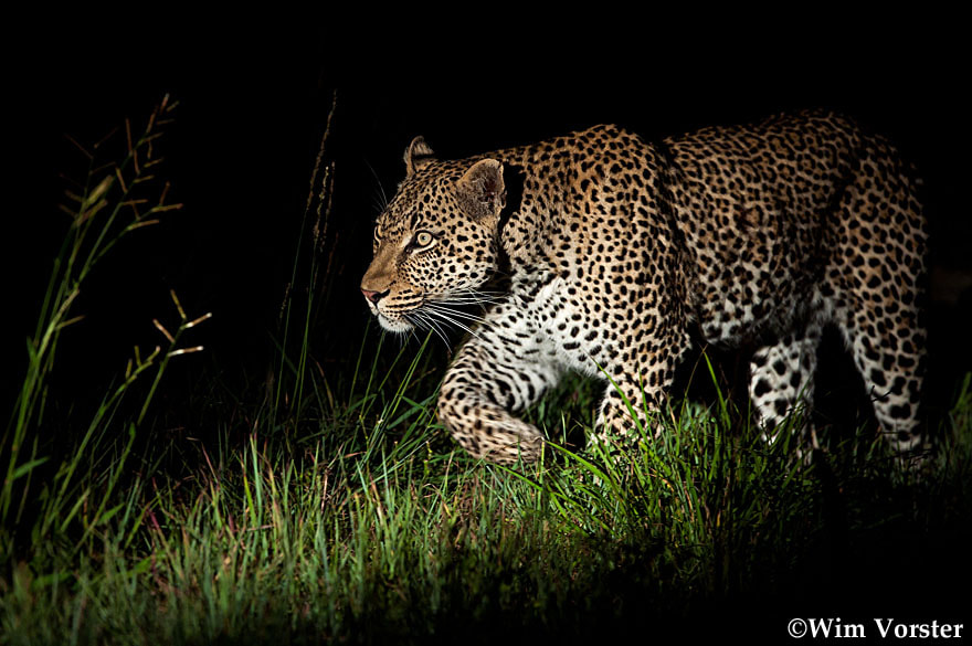 """Photograph """"Prince on the prowl"""" by Wim Vorster Photography on 500px"""