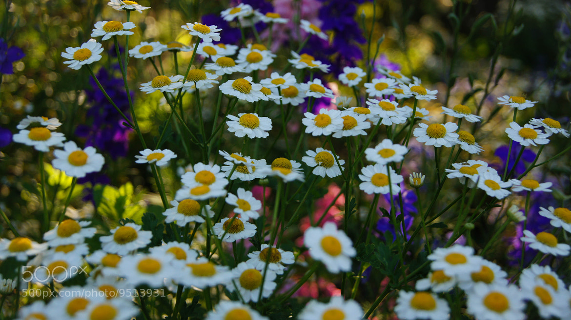 Photograph White Chamomile and Company by Erik Anderson on 500px
