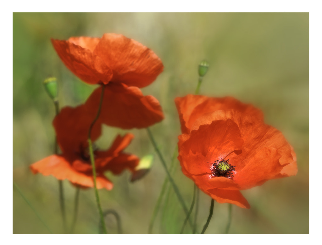 Photograph Poppies by Victor Lopez on 500px