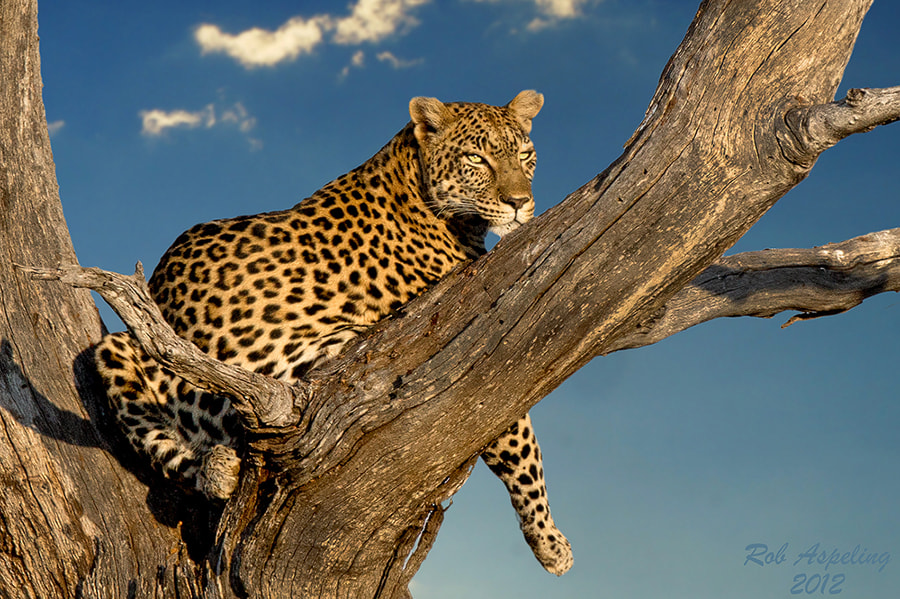Photograph Lazing Leopard by Robbie Aspeling on 500px