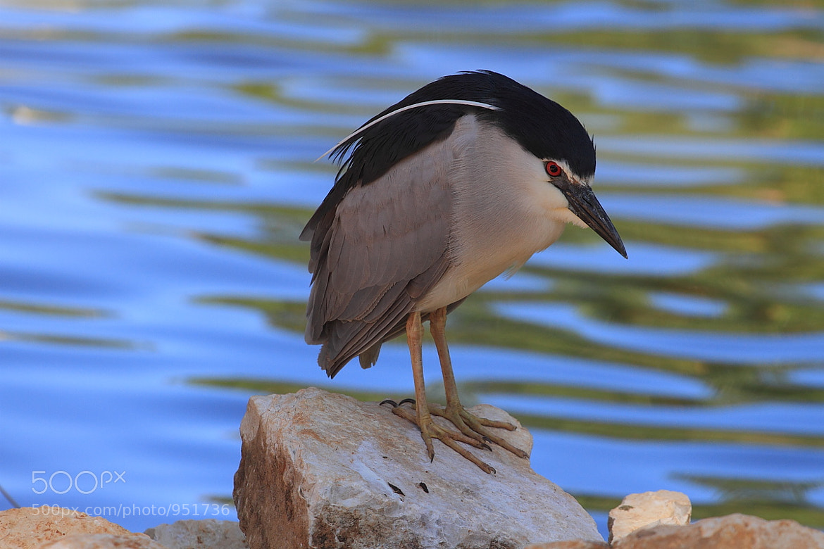 Photograph Wistful Night Heron.   by Yuri Gomelsky on 500px