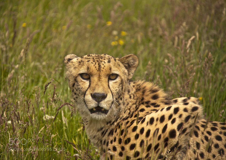 Photograph Cheetah  by Ray Jones on 500px