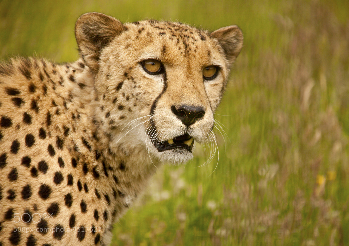 Photograph Cheetah  by Ray Jones on 500px