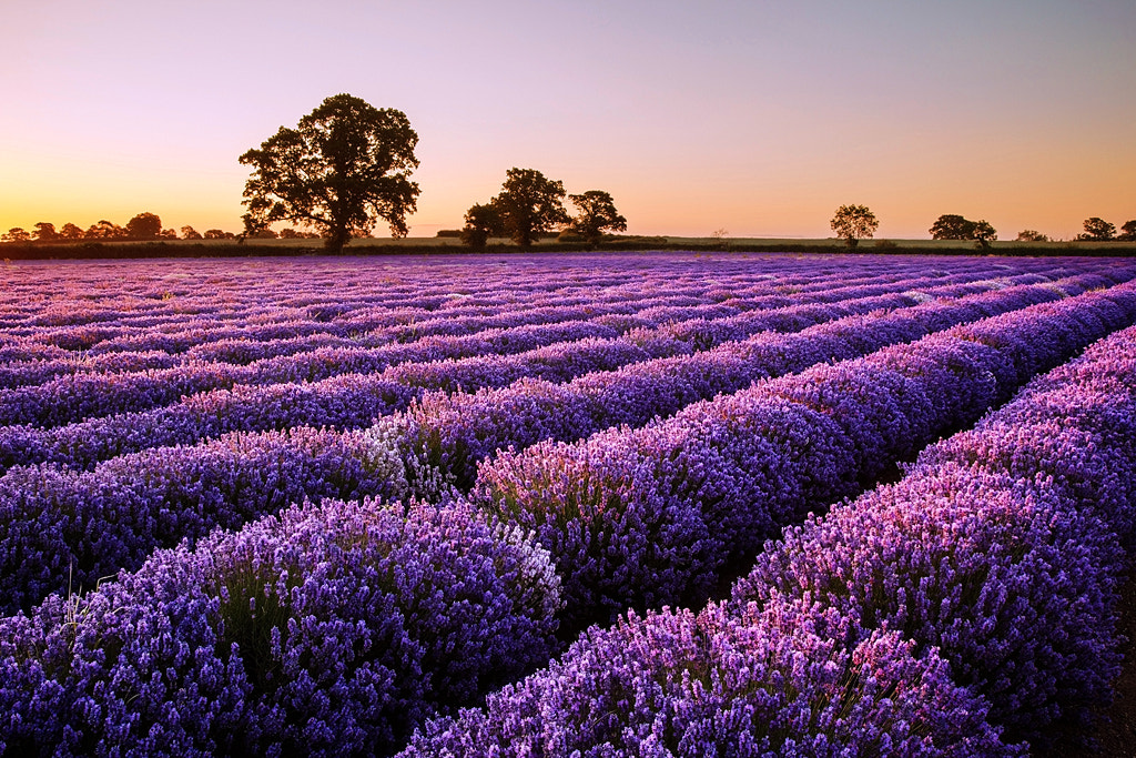 Photograph Dawn Light across the Lavender by Graham McPherson on 500px