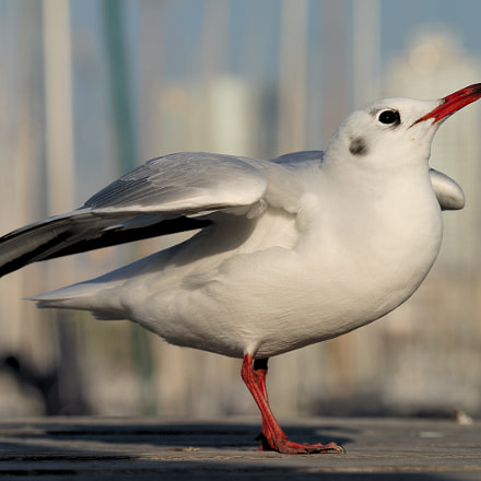 Black-headed Gull takes wing