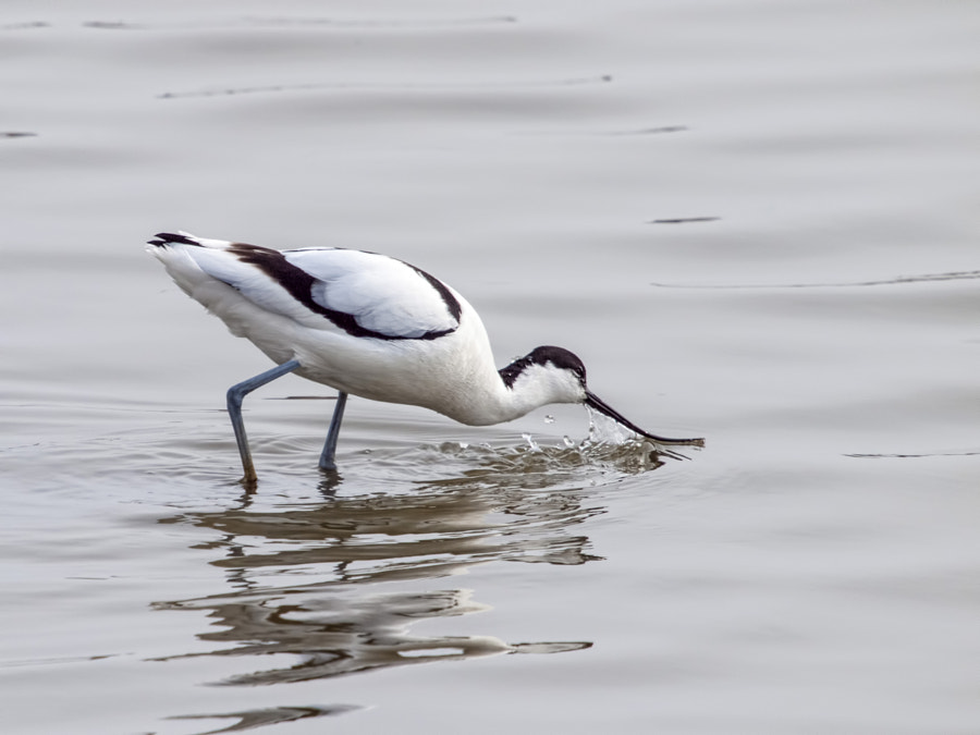 Photograph Avocet by Peter Atkinson on 500px