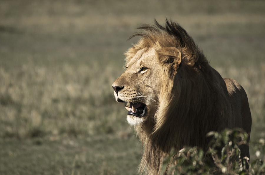 Photograph Kenya - Lion by Cyril Fontaine on 500px