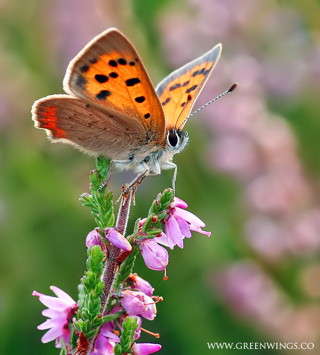Photograph Small Copper by Matt Berry on 500px