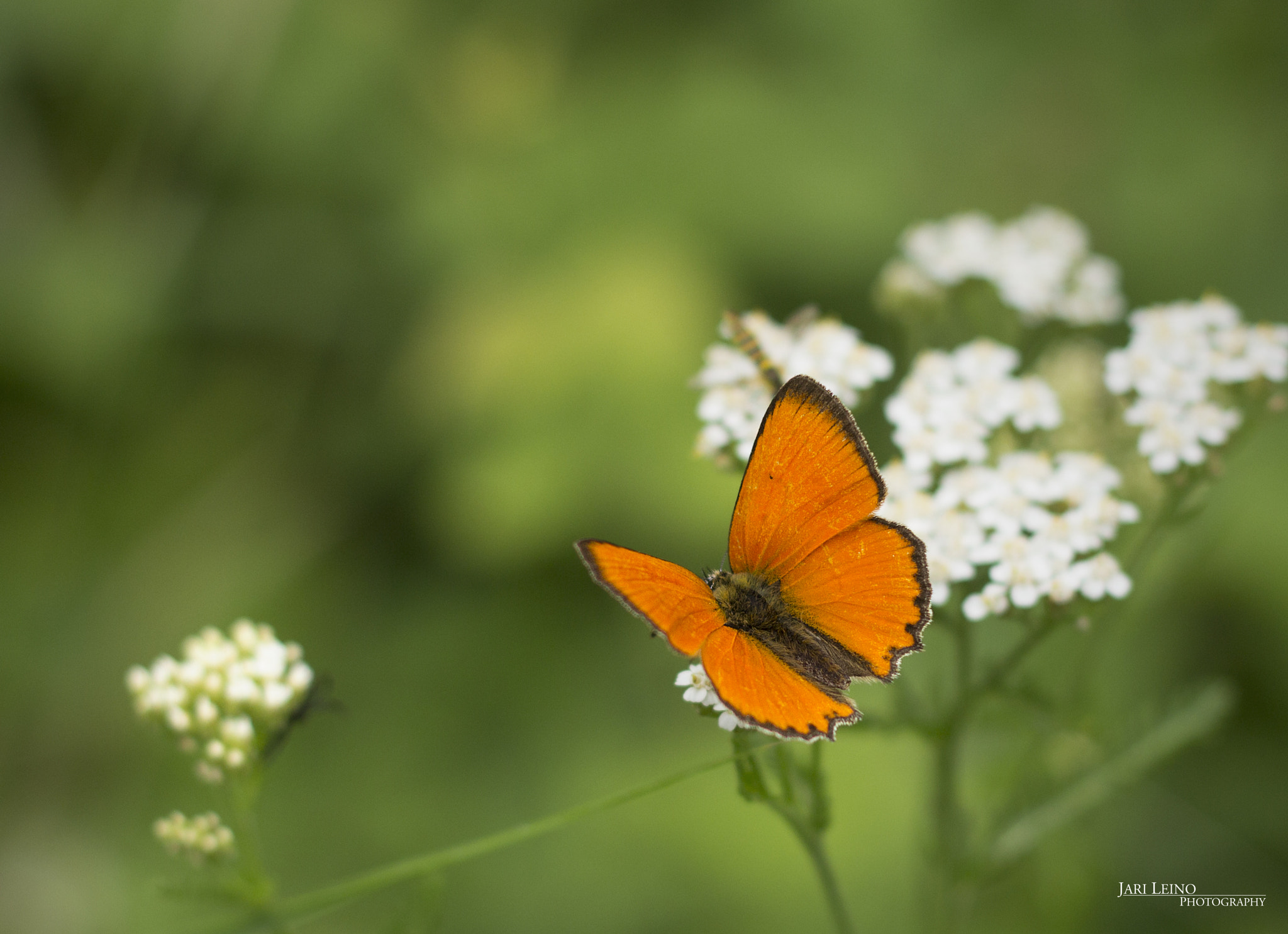 Photograph Butterfly by Jari Redsven on 500px
