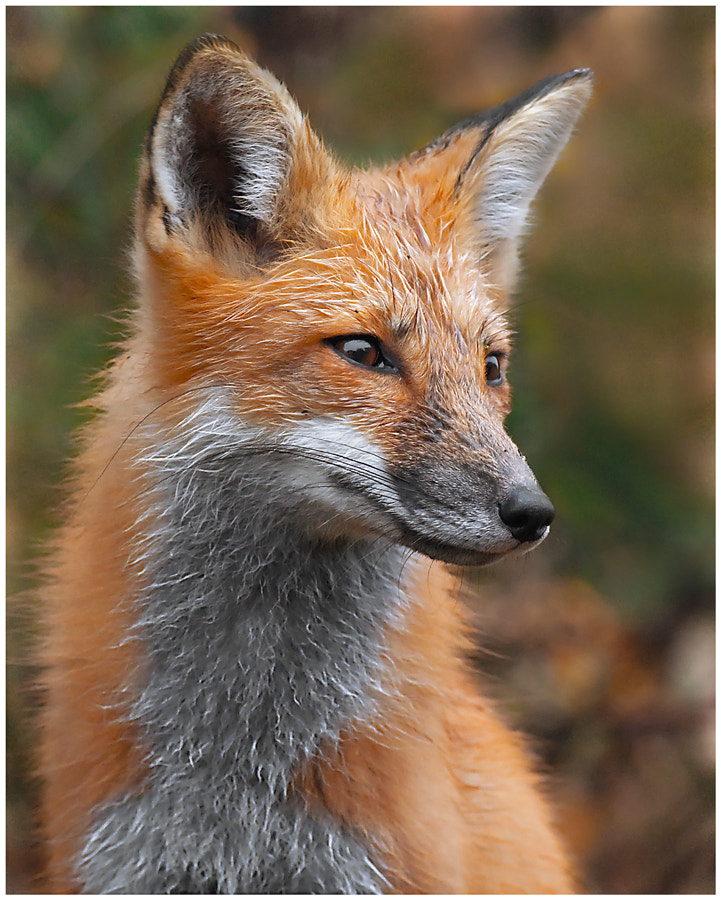 Photograph Fox Portrait by Michael Higgins on 500px