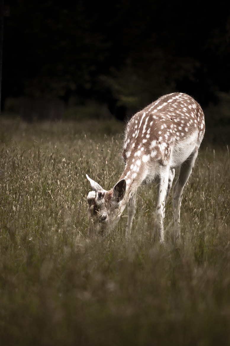 Photograph Fallow Deer by Kelly-Marie Smith on 500px
