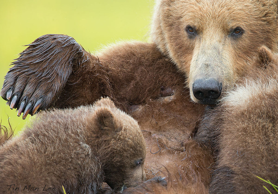 Photograph Bear Nursing by Tin Man on 500px