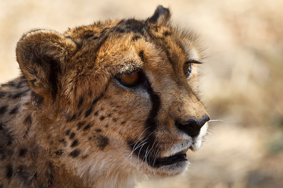 Photograph Cheetah of Namibian Conservation Found by Fabrizio Fenoglio on 500px