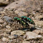 A female and male Green Tiger Beetle (Cicindela campestris) mating as they walk the scorching sands in the lower-Alps.