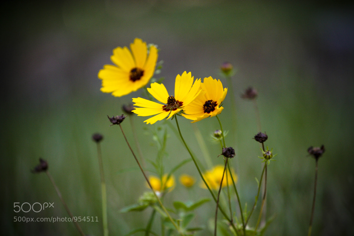 Photograph yellow wild flowers by Alison  Brauda on 500px