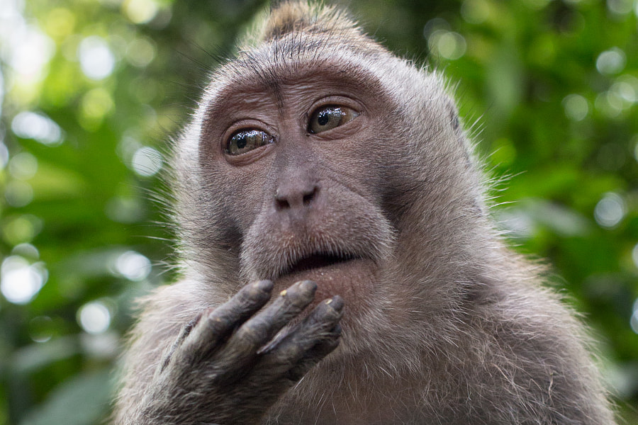 Macaque in 'Monkey Forest' pauses momentarily while eating. Ubud, Bali, Indonesia.