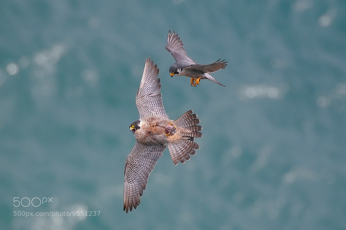 Photograph Falcon by 미로 미로 on 500px