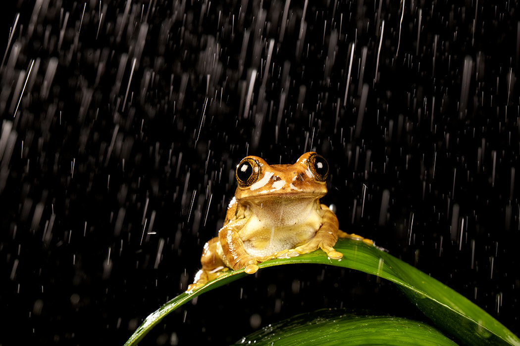 Photograph Frog + Rain = Happy Frog! by Mark Bridger on 500px