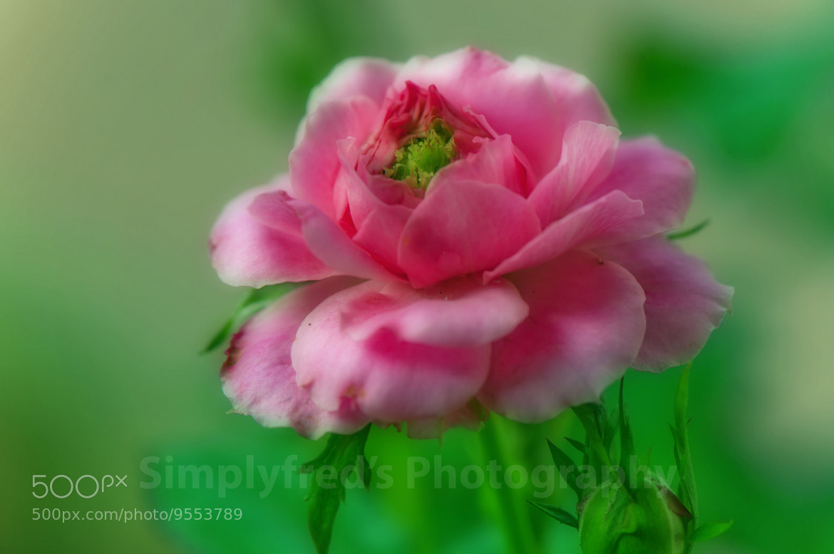 Photograph Rose at its best bloom by Alfred Quah on 500px