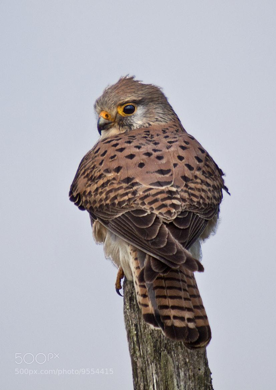 Photograph Kestrel (Falco tinnunculus) by Ray Jones on 500px