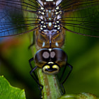 A beautiful Migrant Hawker (Aeshna mixta) in our garden,