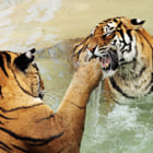 Постер, плакат: tigers fighting