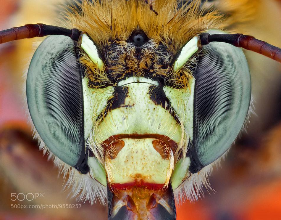 Photograph Shaggy Bee 2 by Omid Golzar on 500px
