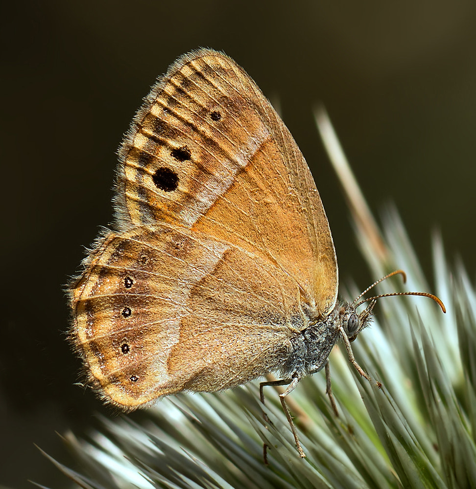 Photograph Butterfly 12 by Iman Mehr on 500px