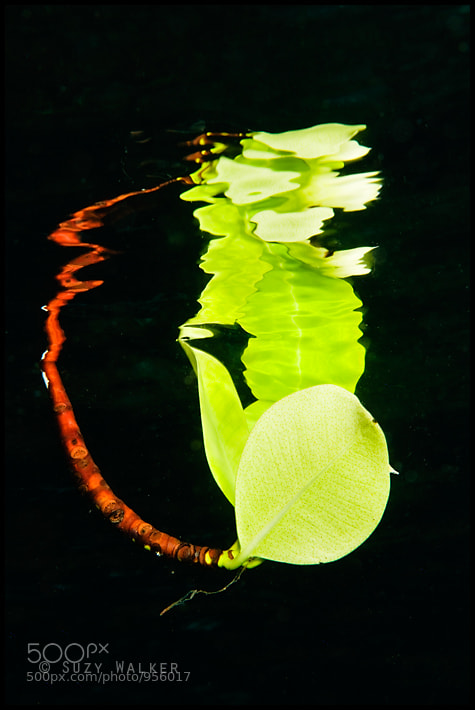 Photograph Underwater Leaf Reflection by Suzy Walker-Toye on 500px