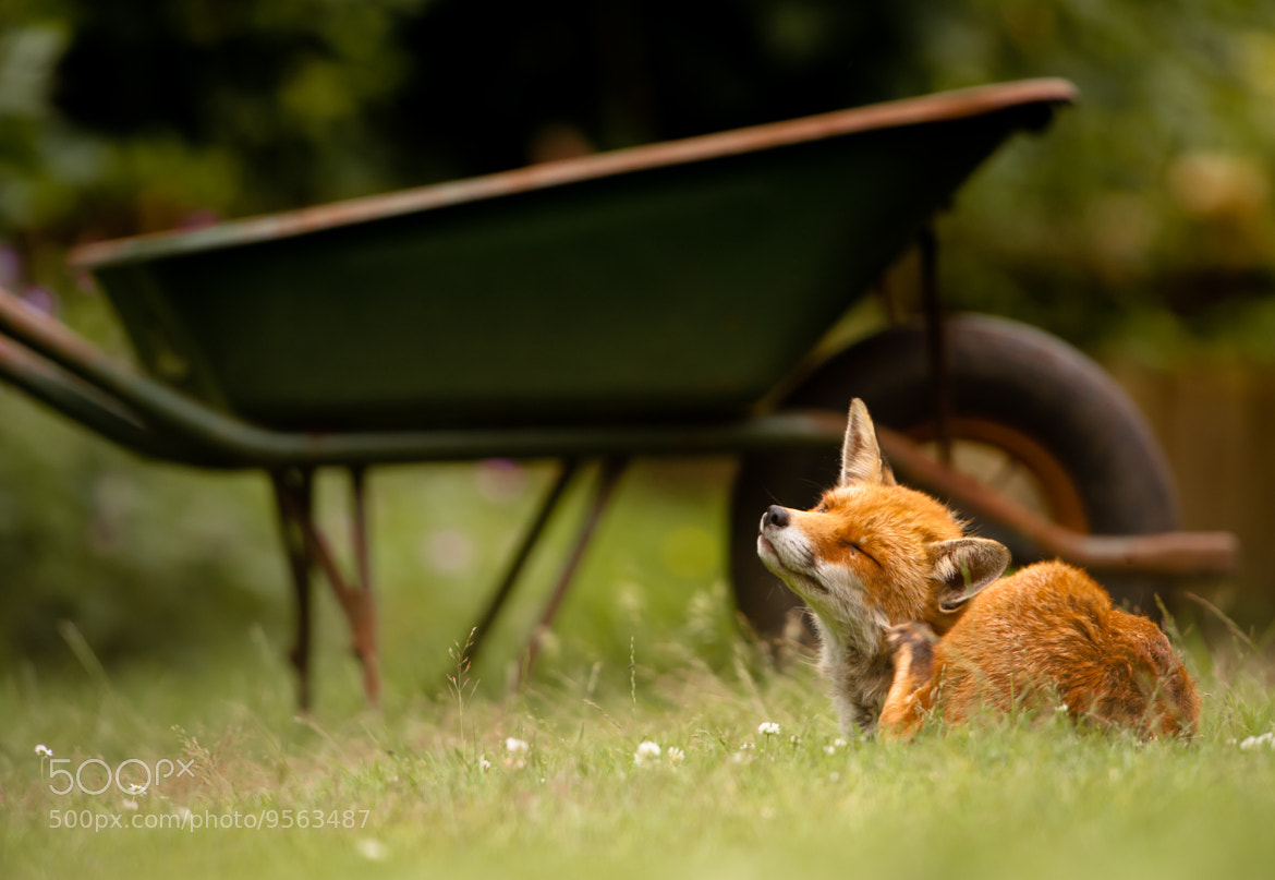 Photograph Garden fox by Philip Braude on 500px