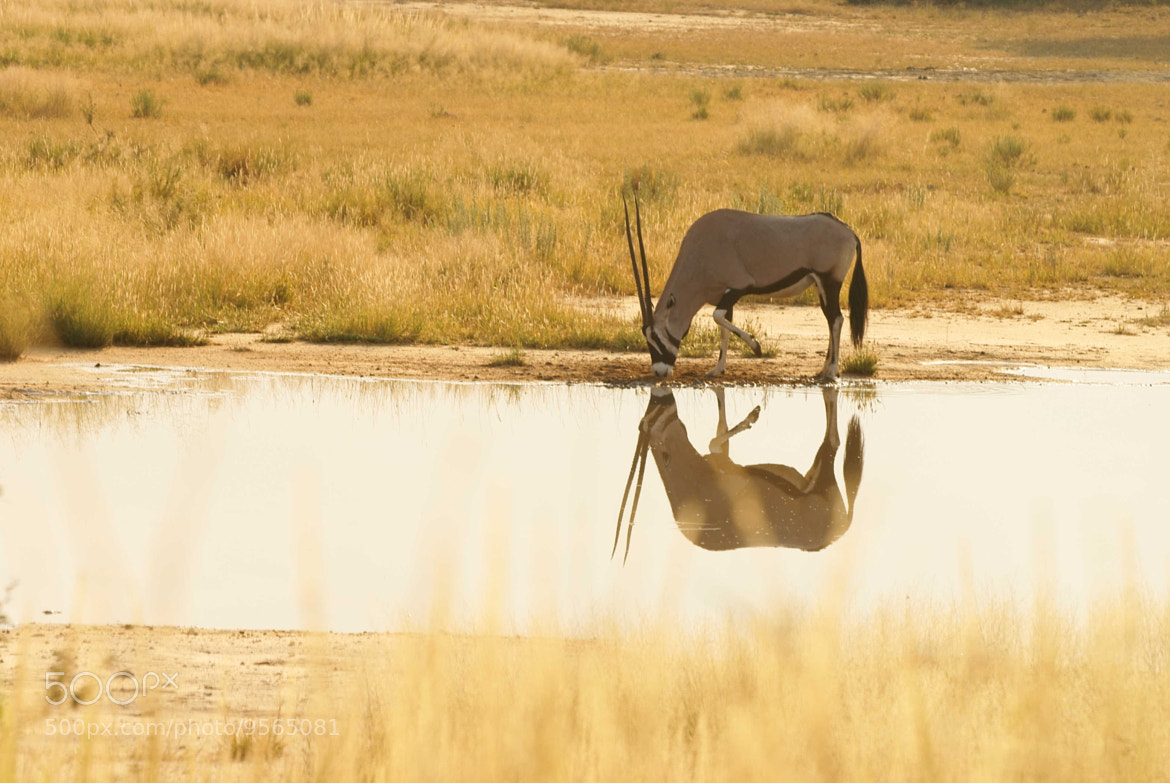 Photograph Oryx reflection by Lillian Arnold on 500px