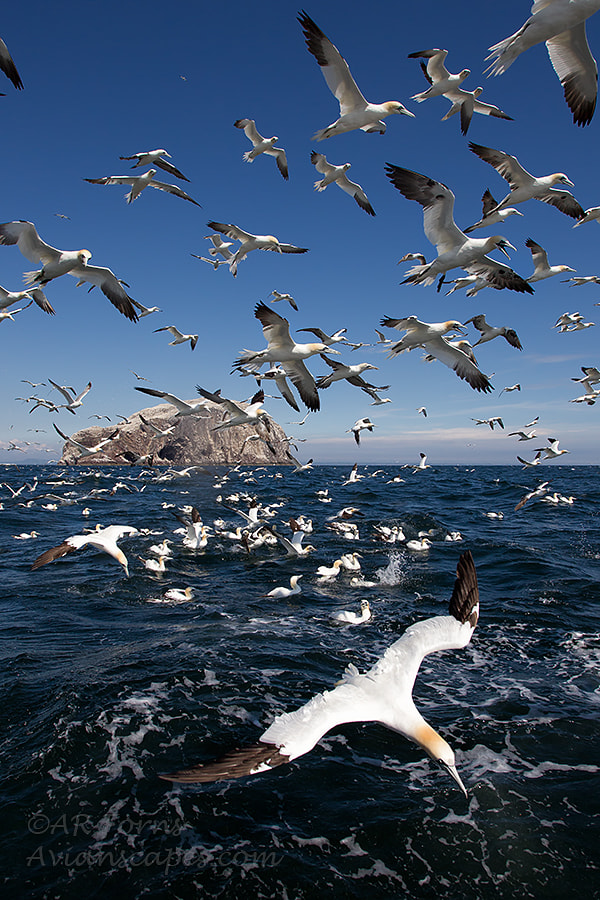 Photograph Diving gannets !!! by Alfred Forns on 500px