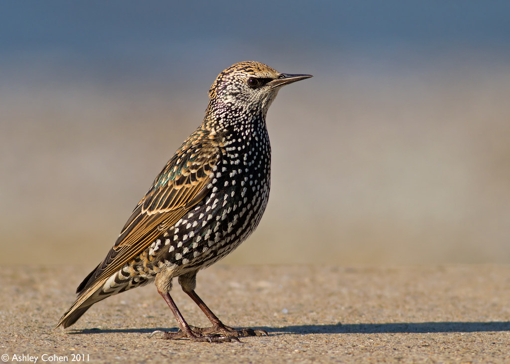 Photograph Starling Stare by Ashley Cohen on 500px