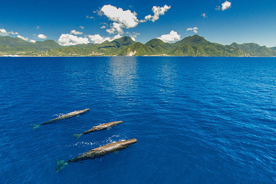 Photograph 3 Sperm whales with Dominica by Keri Wilk on 500px