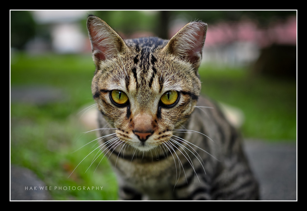 Photograph The friendly neighbourhood cat by Hak Wee  on 500px