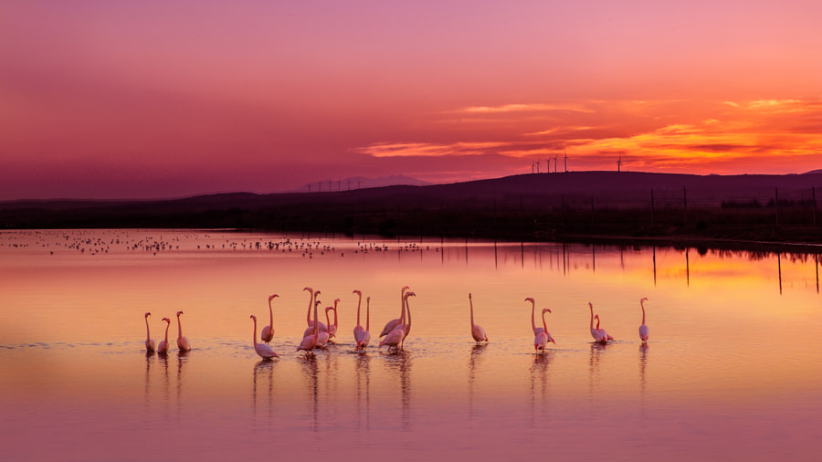 Flamants roses by Maxime Raynal on 500px.com