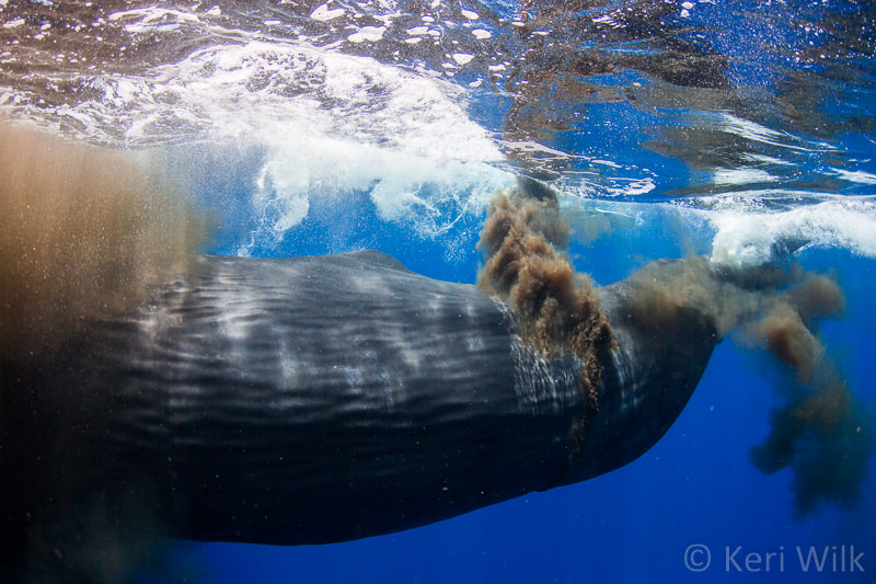 Photograph Sperm Whale Pooping by Keri Wilk on 500px