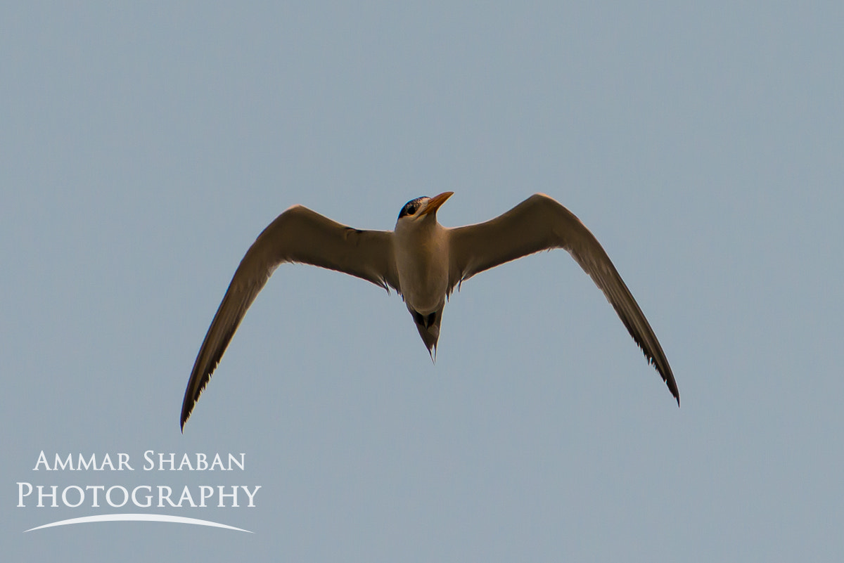 Photograph Flying Seagull by Ammar Shaban on 500px