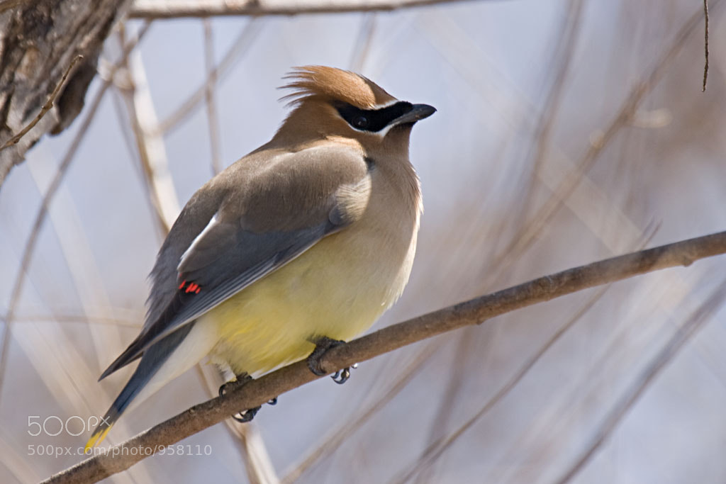 Photograph Cedar Waxwing by Robin Gornell on 500px