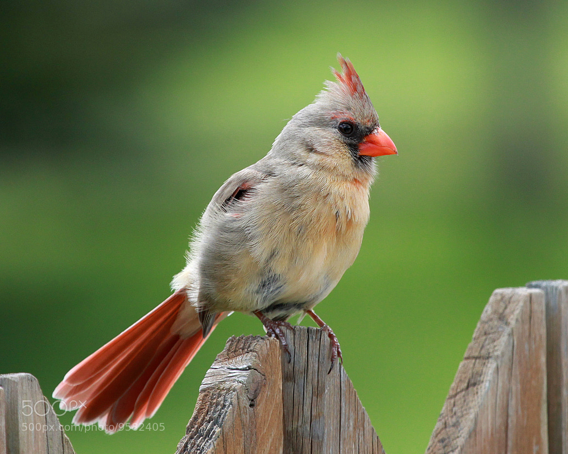 Photograph Female Northern Cardinal by Mike Bowen on 500px