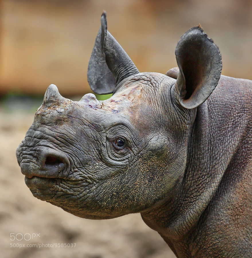 Photograph Little rhino Naima by Klaus Wiese on 500px