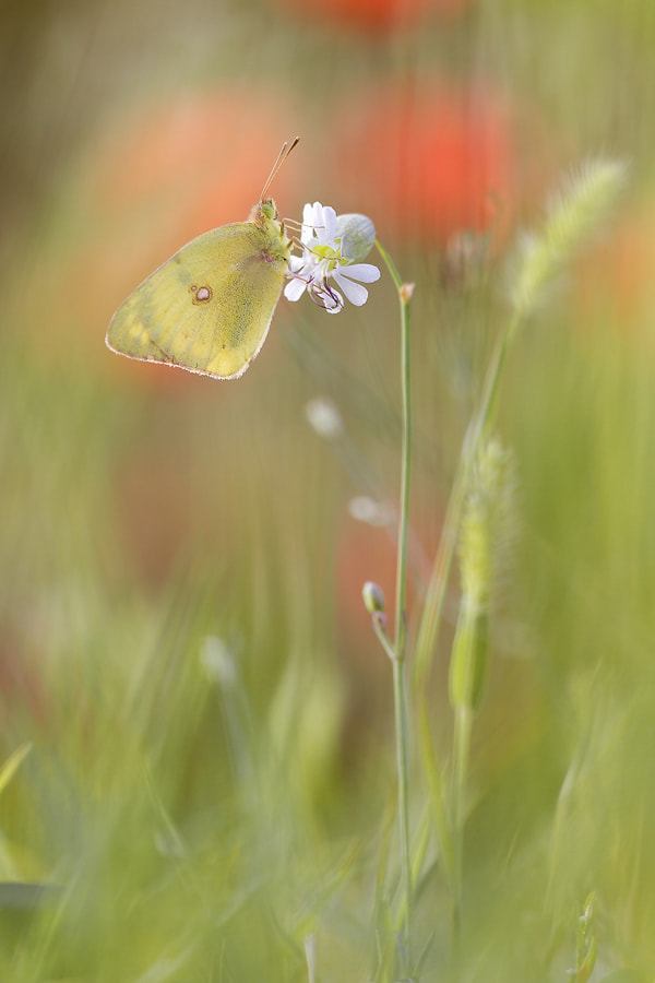 Photograph Colias hyale by Anton Simon on 500px