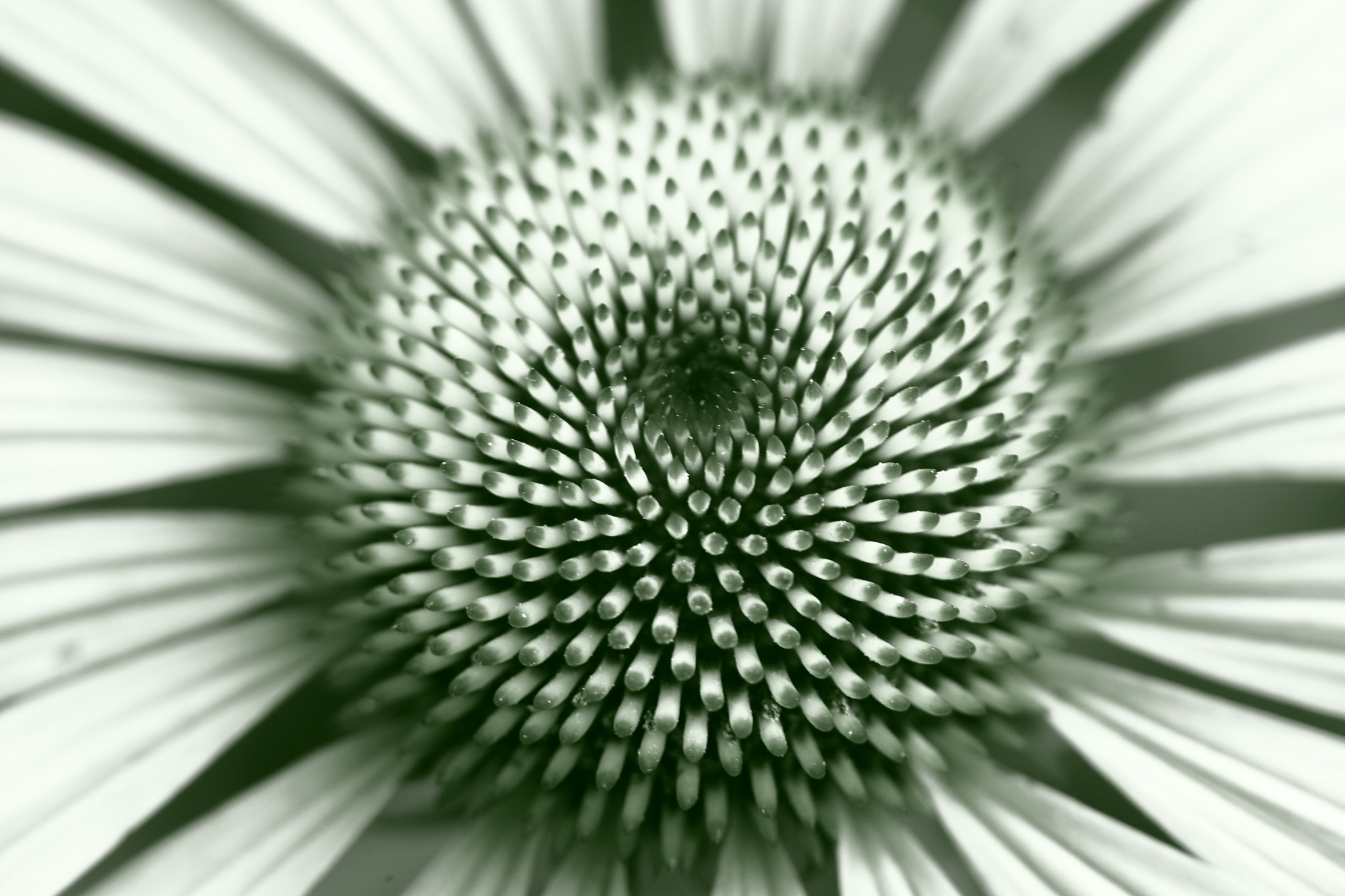 Photograph Black and White Flower Core by Yana Bukharova on 500px
