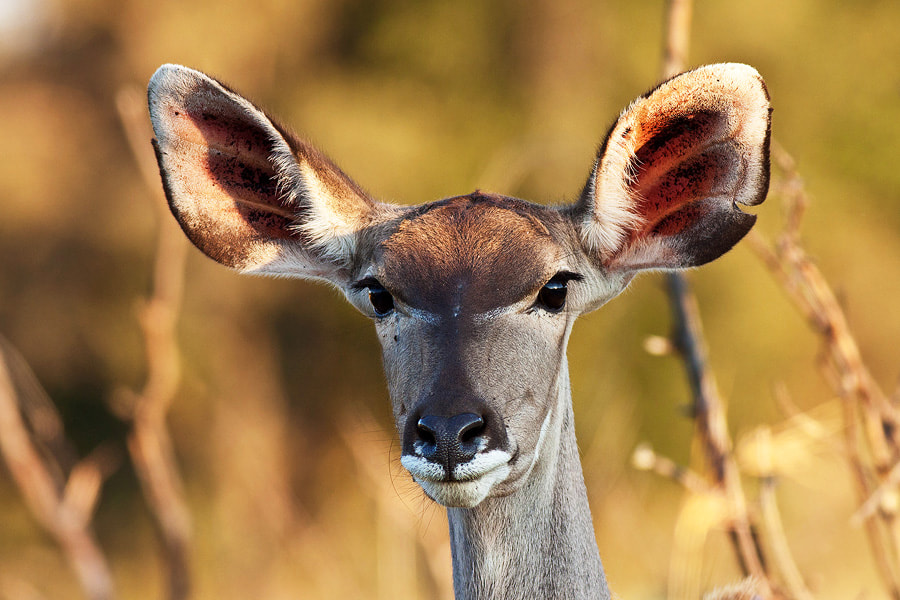 Photograph All eyes and ears by Jochen Van de Perre on 500px