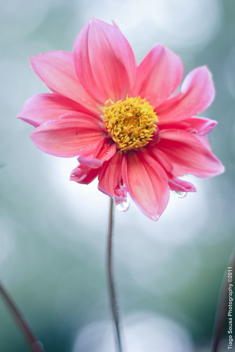 Photograph Flower by Tiago Sousa on 500px