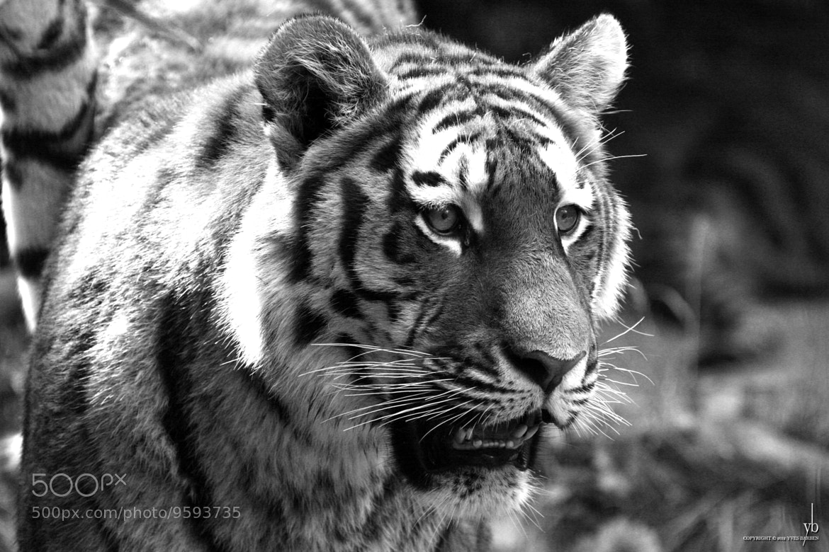 Photograph tiger black and white by y b on 500px