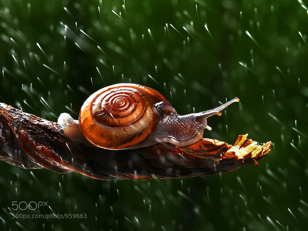 Photograph Snail by Panumas Pattanakajorn on 500px