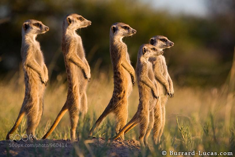 "A group of Meerkats on the lookout for danger in Botswana's Kalahari Desert.  - More <a href=""http://www.burrard-lucas.com/gallery/wildlife/africa/safari/meerkats.html"">meerkat photos</a>."